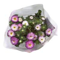 Waitrose British Asters Pastel