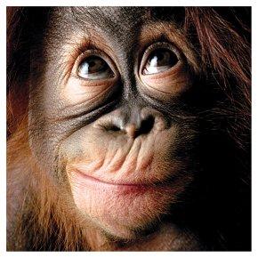Smiling baby orangutan - photo#12